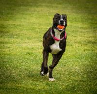 running pitbull