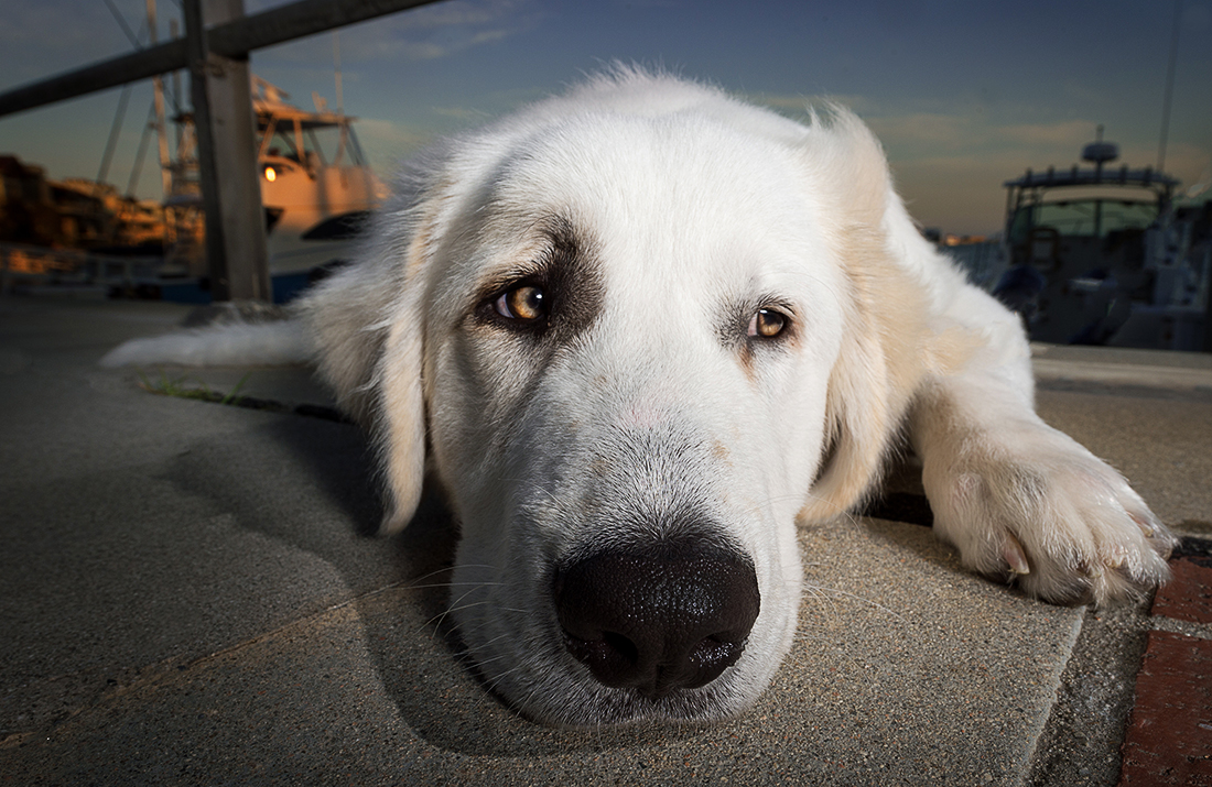 great white pyrenees