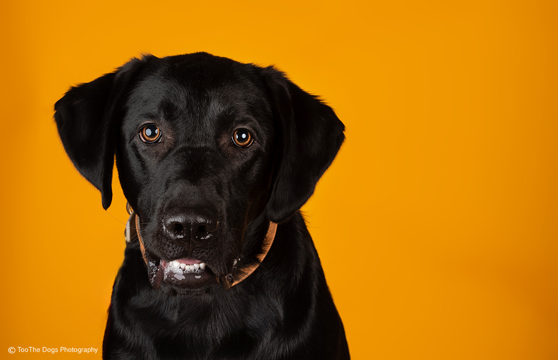 image of a Black Labrador Retriever posing for a photo
