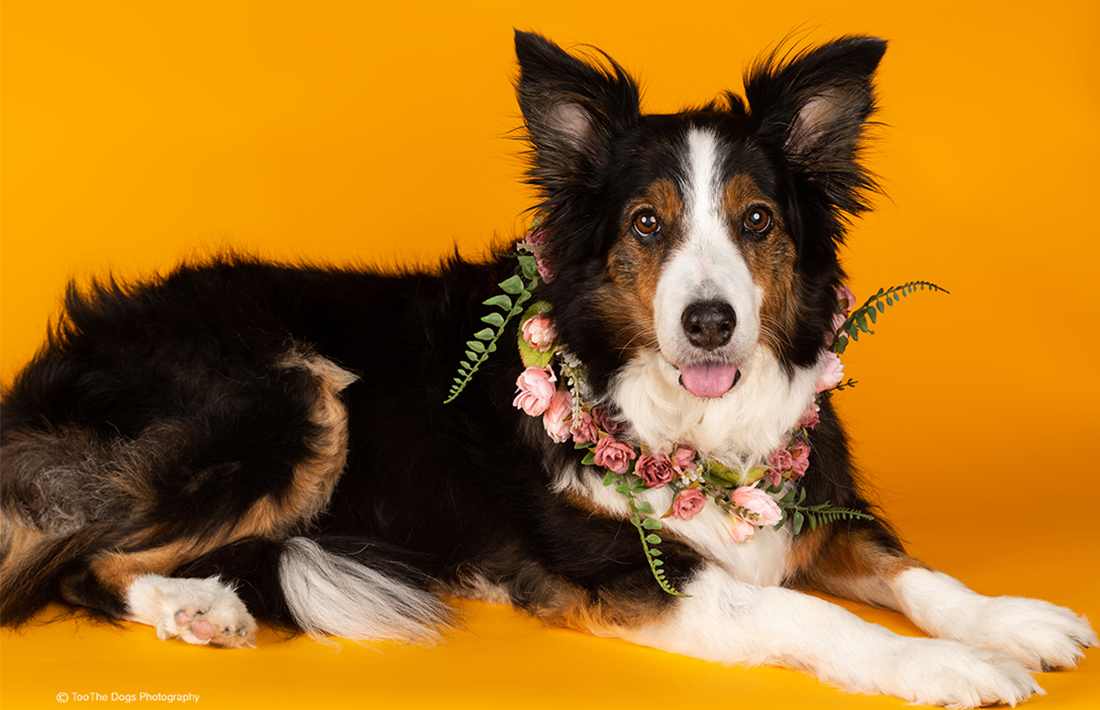 image of a beautiful Border Collie posing for a photo